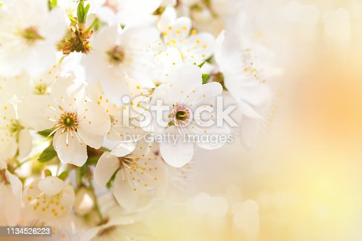 Beautiful white flowers of blossoming apricot tree. Wonderful natural background.
