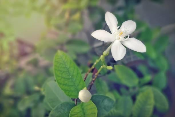 schöne weiße blüten auf hintergrund verschwommen grüne blätter. - leucojum stock-fotos und bilder