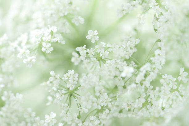 beautiful white flowers - floral pattern stock photos and pictures