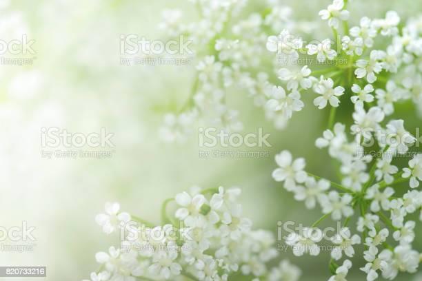 Beautiful white flowers picture id820733216?b=1&k=6&m=820733216&s=612x612&h=ekqe70tznossaoyt5fofkth2rmiyomri kzqdbpgaoy=