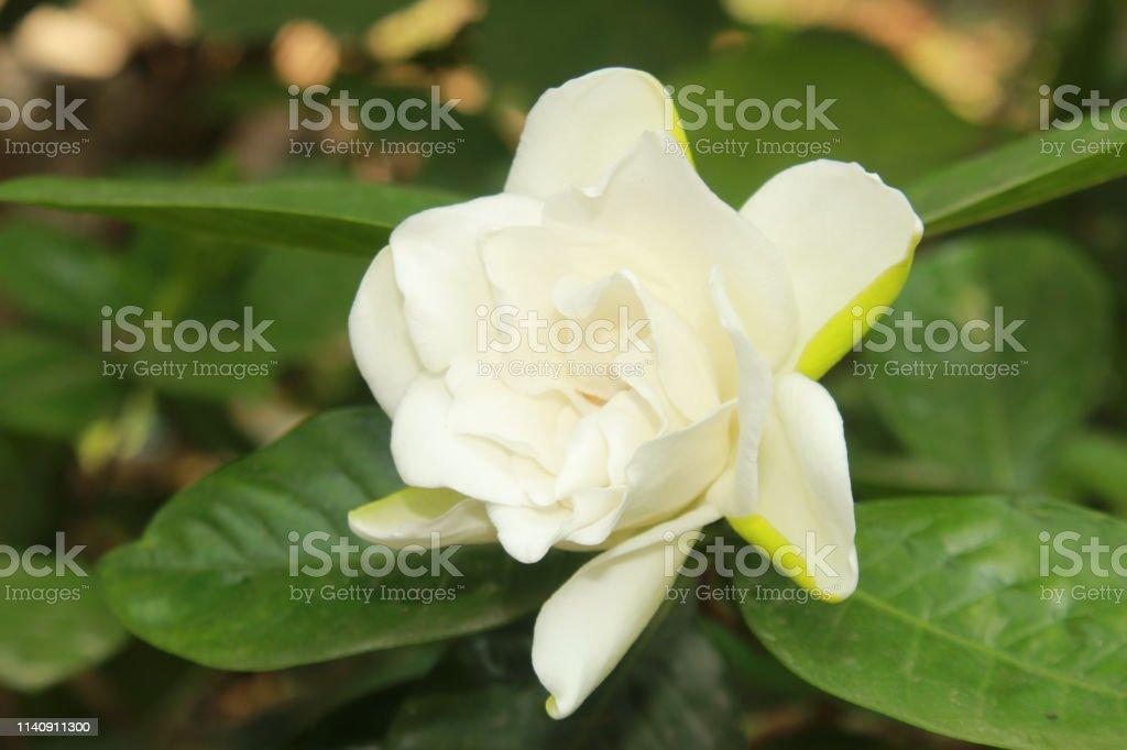 Beautiful white gardenia flower on shrub