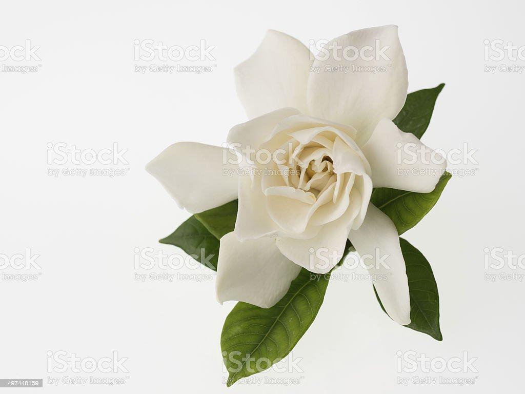 Schöne weiße gardenia, isoliert auf weißem Hintergrund – Foto