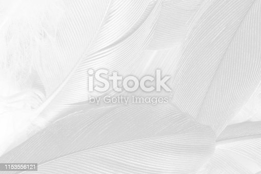 istock Beautiful white gray colors tone feather texture background 1153556121