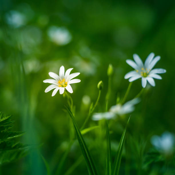 Beautiful white greater stitchwort flowers blooming on a forest meador ground in spring. stock photo