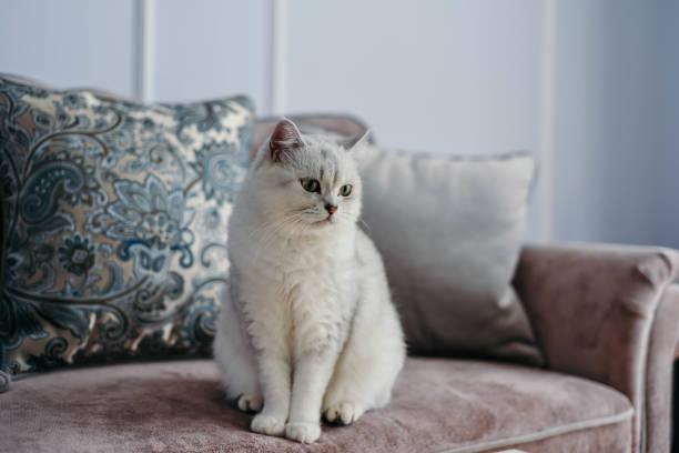 Beautiful white grey cat on cauch in classic french home decor near picture id1023967438?b=1&k=6&m=1023967438&s=612x612&w=0&h=8tvwd3gi96l2gvcegv3zo4vqxgrzknuig jhamgml6o=