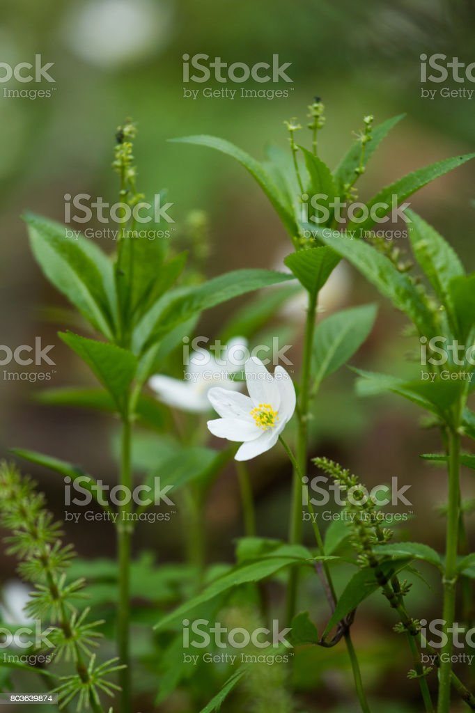 Beautiful white hepaticas on a natural background in spring stock photo