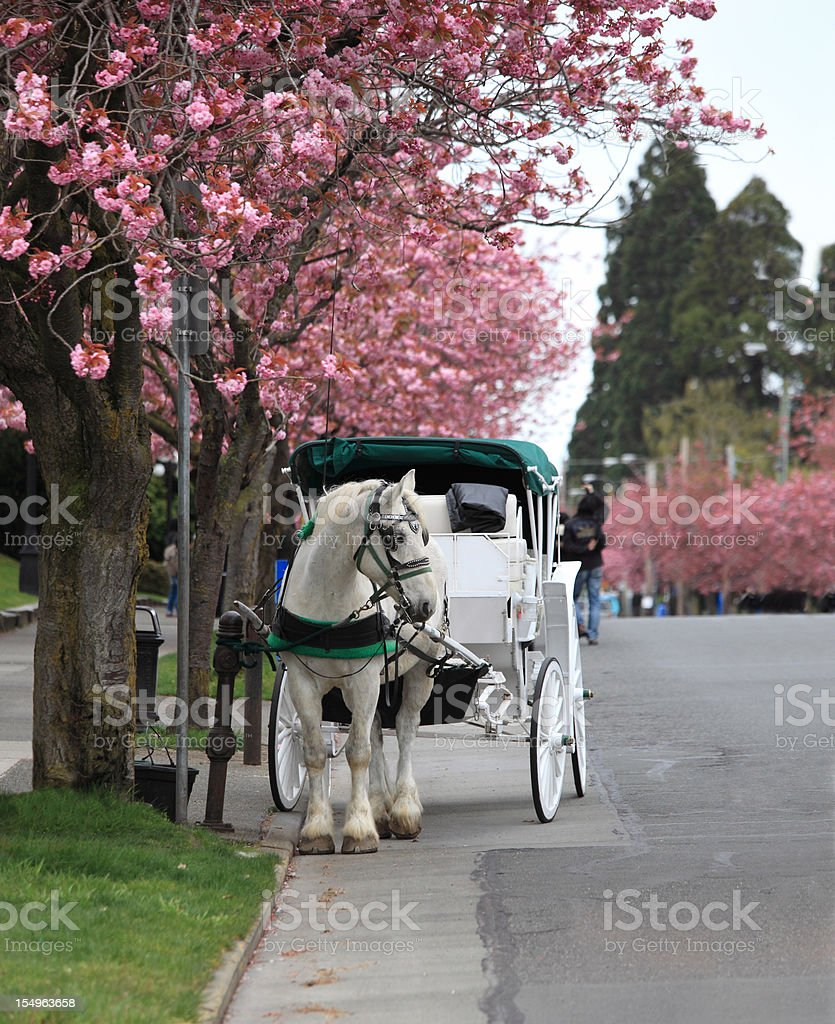 Beautiful white horse and buggy stock photo