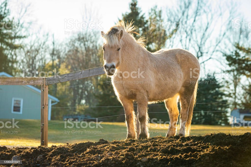 Beautiful White Horse At Sunset In Fron Of The Farm Symbol Of Freedom Stock Photo Download Image Now Istock