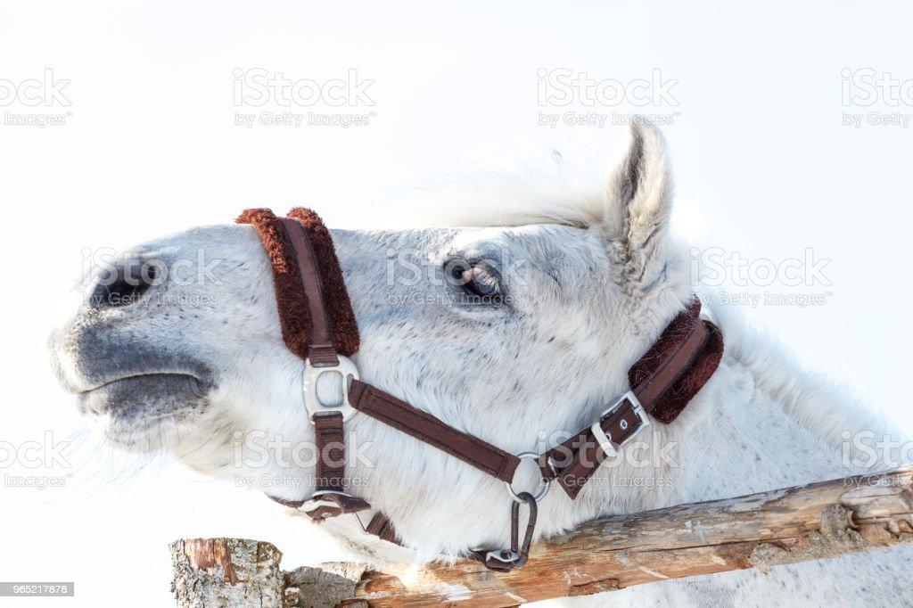 beautiful white horse close-ups peeps out of the pen zbiór zdjęć royalty-free
