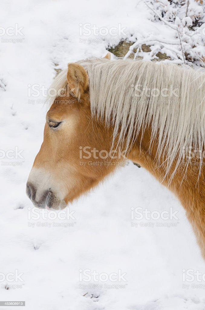 beautiful white horse head on snow royalty-free stock photo