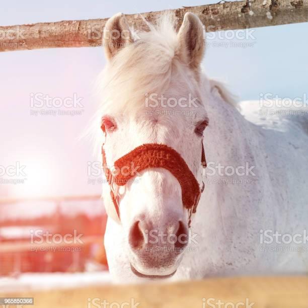 Красивая Белая Лошадь В Ручке На Закате Крупным Планом — стоковые фотографии и другие картинки Без людей