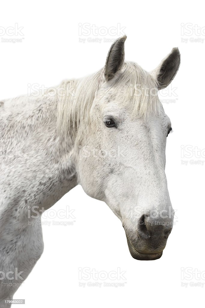 Beautiful white horse on a isolated background royalty-free stock photo