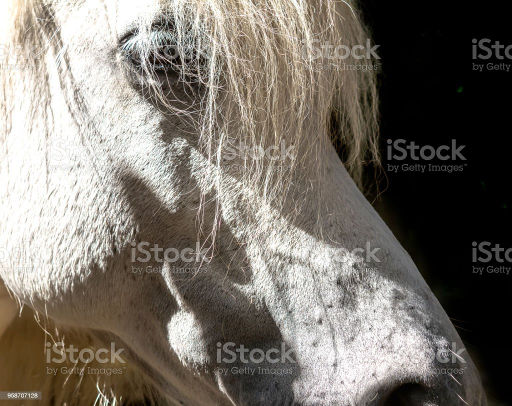 Beautiful White Horse Portrait On Black Background Stock Photo Download Image Now Istock