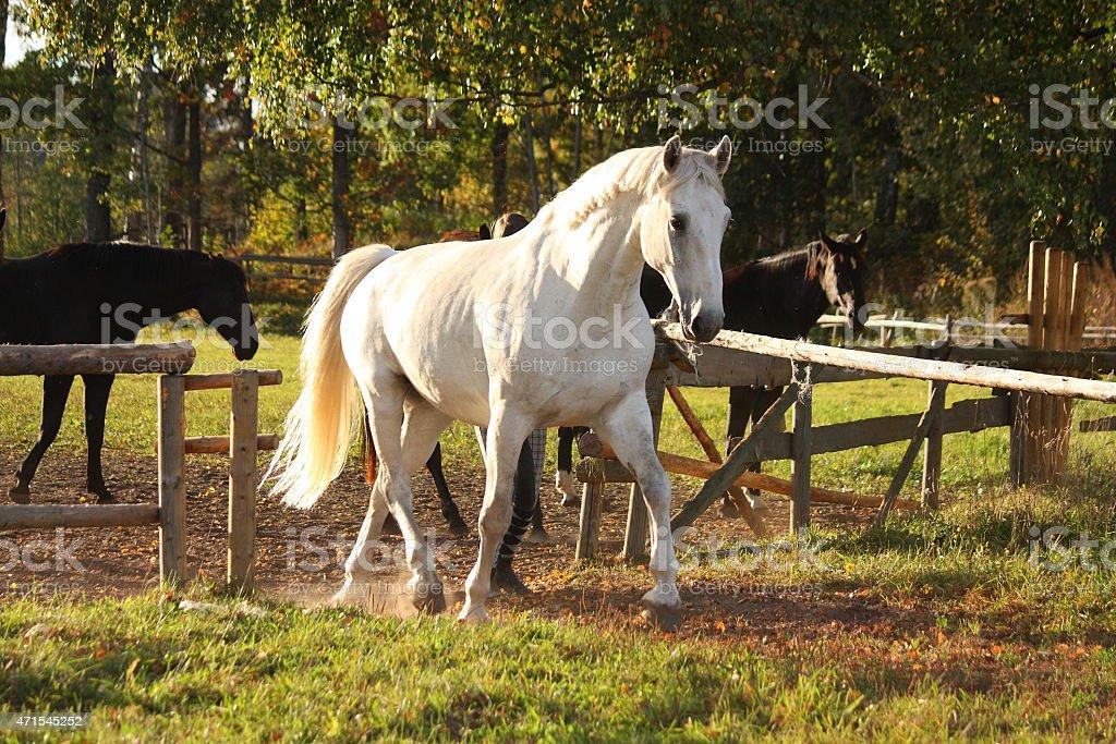 Beautiful white horse running trotting stock photo