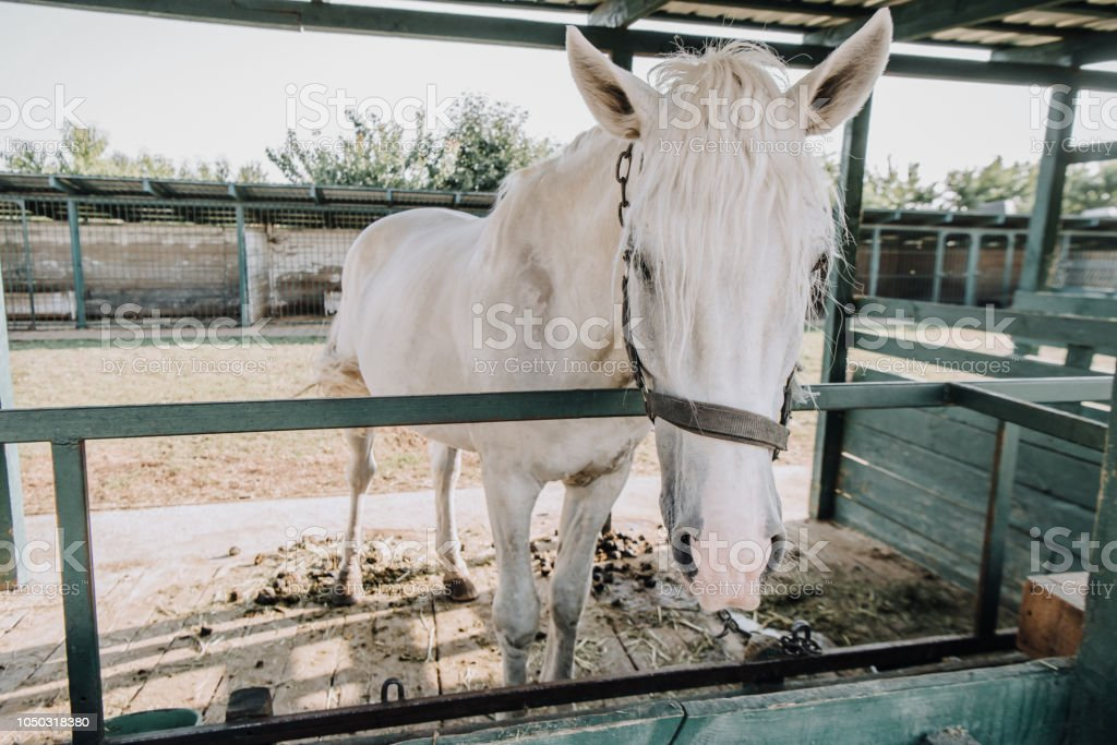 Beautiful White Horse Standing In Stable At Farm Stock Photo Download Image Now Istock