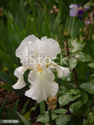 istock Beautiful white iris flower 1302632894