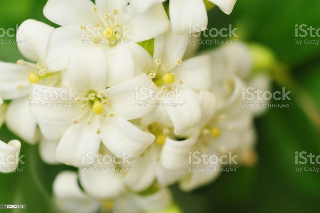 Beautiful white jasmine flowers stock photo