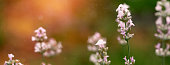 Beautiful white Lavender blooming in green meadow. Summer time concept. Social media banner or header.