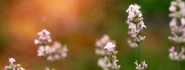 Beautiful white lavender blooming in green meadow picture id1192514232?b=1&k=6&m=1192514232&s=612x612&w=0&h=39zqhckkmdwcuanqhjlcnpr42qt2zqnt2pe2t jxdco=