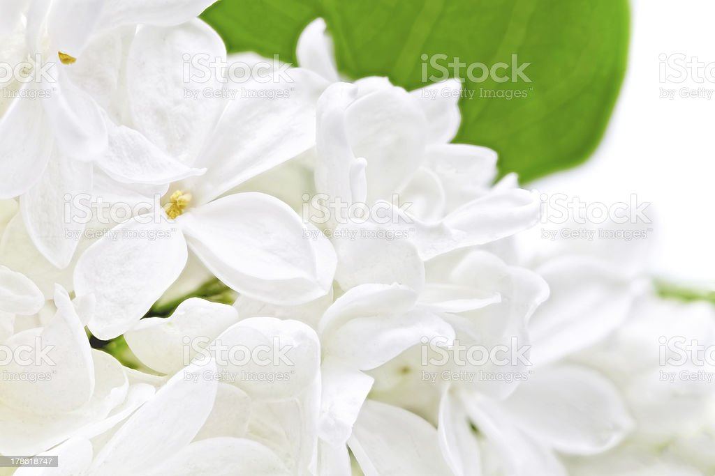Beautiful  white  Lilac . Isolated. royalty-free stock photo