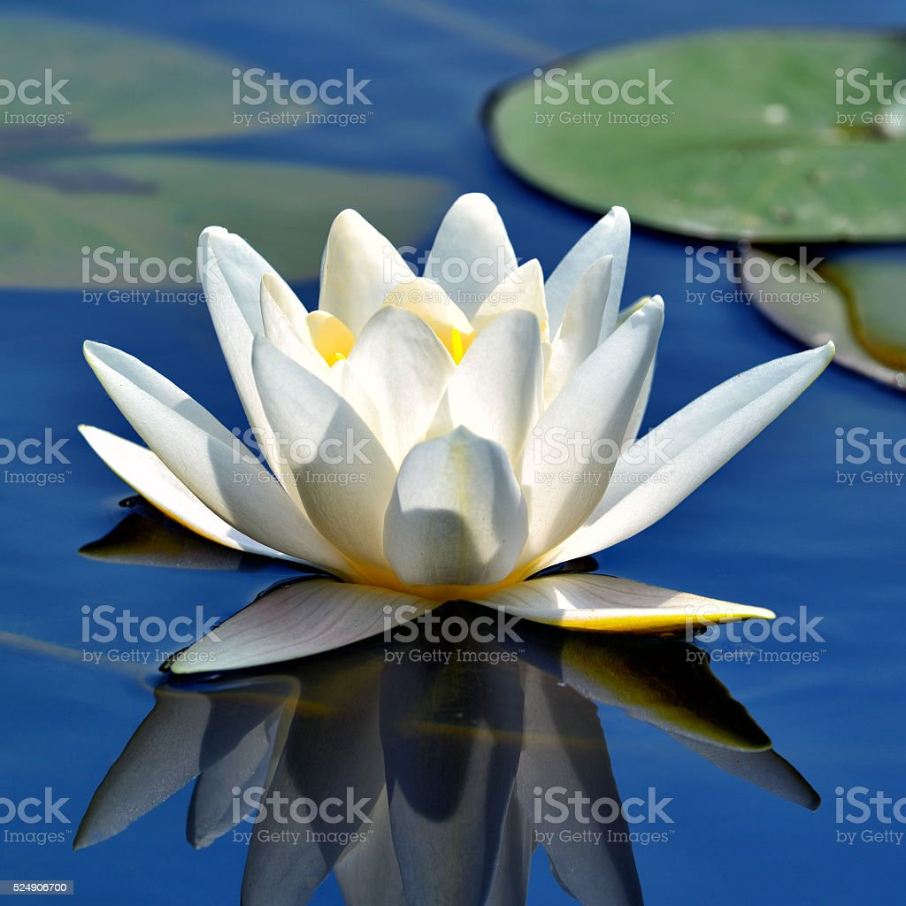 Beautiful white lily stock photo