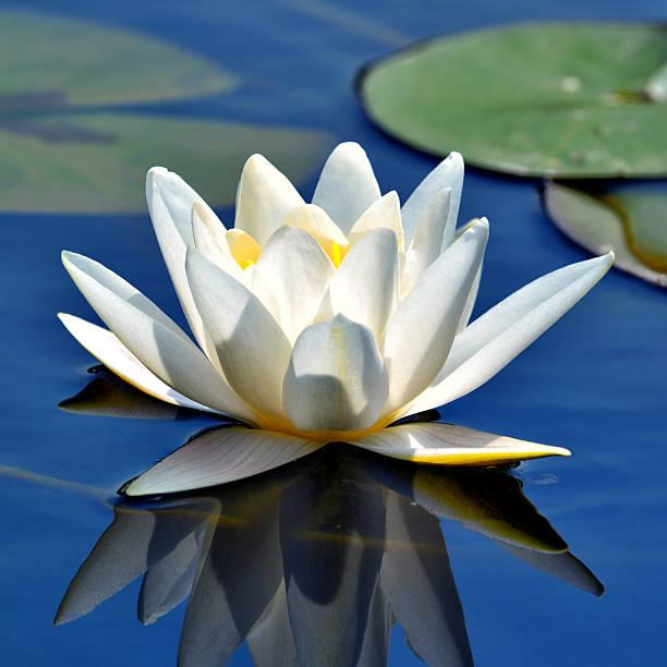 schöne weiße seerose - wasserlilien stock-fotos und bilder