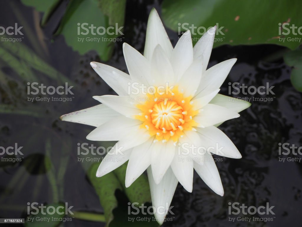 Beautiful white lotus flower is the symbol of the buddha thailand beautiful white lotus flower is the symbol of the buddha thailand royalty free izmirmasajfo