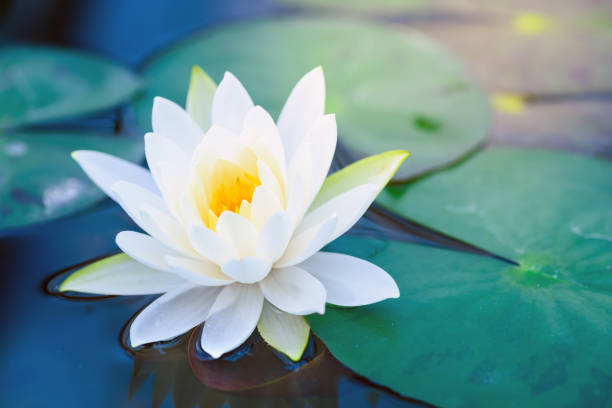 beautiful White Lotus Flower with green leaf in in pond beautiful White Lotus Flower with green leaf in in pond lotus water lily stock pictures, royalty-free photos & images