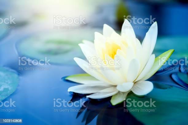 Beautiful white lotus flower with green leaf in in pond picture id1023140808?b=1&k=6&m=1023140808&s=612x612&h=pld1iohqbav7bb6j ebc9yywdriktnglxendvmcboii=