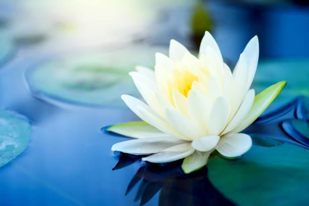 Beautiful white lotus flower with green leaf in in pond picture id1023140808?b=1&k=6&m=1023140808&s=612x612&w=0&h=zjbctat3 cuke735tpgrzt5ehxjmjsxv5xeiabjmzwu=