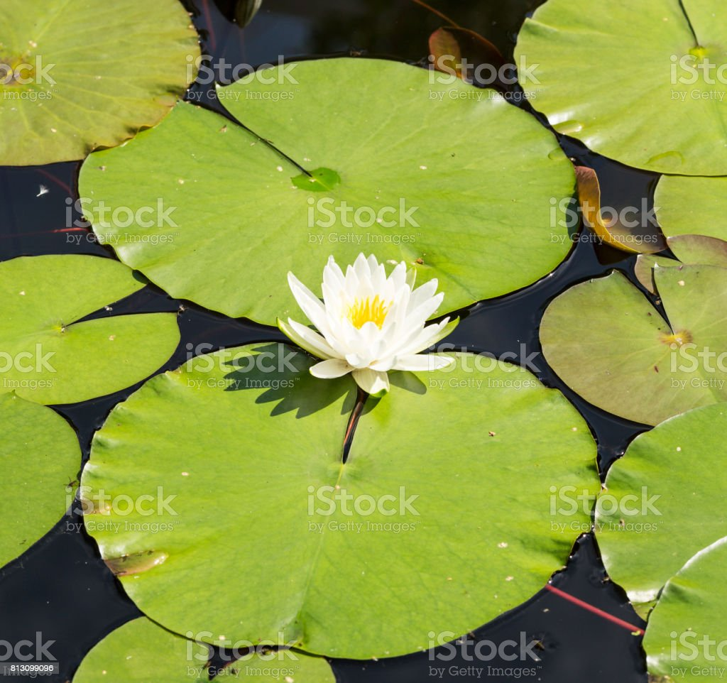Beautiful White Lotus Flowers Or Water Lilies In The Pond On The