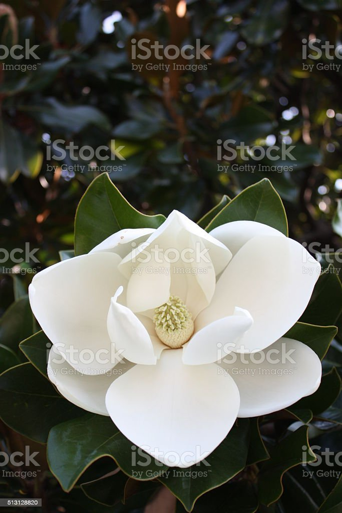 Beautiful white magnolia blossom in summer, Italy stock photo