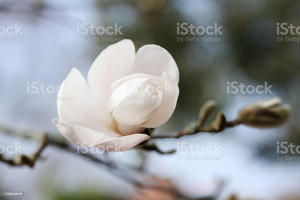 beautiful white magnolia stock photo