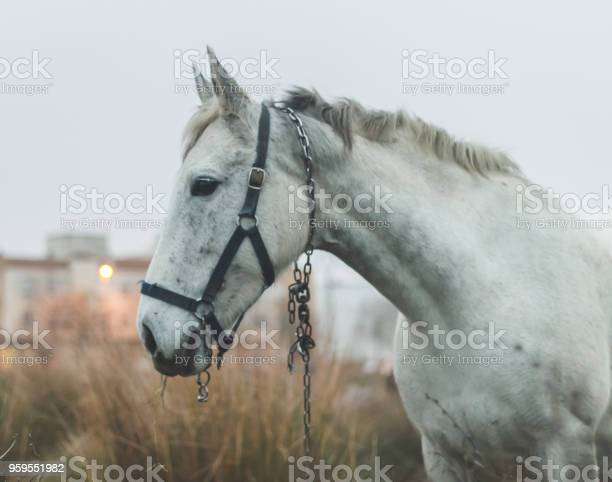 Beautiful white mare in field in cold cloudy afternoon picture id959551982?b=1&k=6&m=959551982&s=612x612&h=66yc65n2rbx5mtpyjirsxr vzrugnr1jjoympklpu5i=