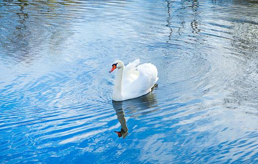 Beautiful white mute swan (Cygnus olor) swimming in blue water