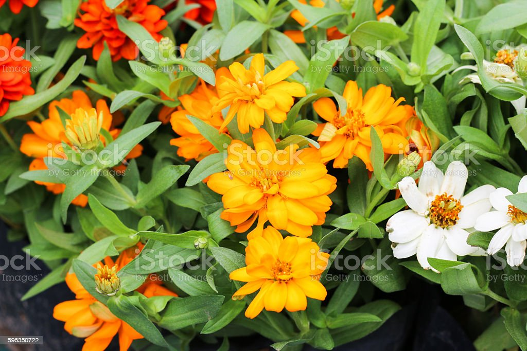 Beautiful white Narrowleaf Zinnia or Classic Zinnia flowers, background. Lizenzfreies stock-foto