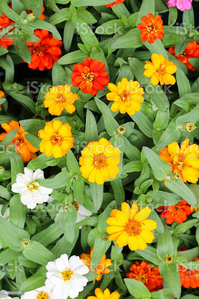 Beautiful white Narrowleaf Zinnia or Classic Zinnia flowers, background. royalty-free stock photo