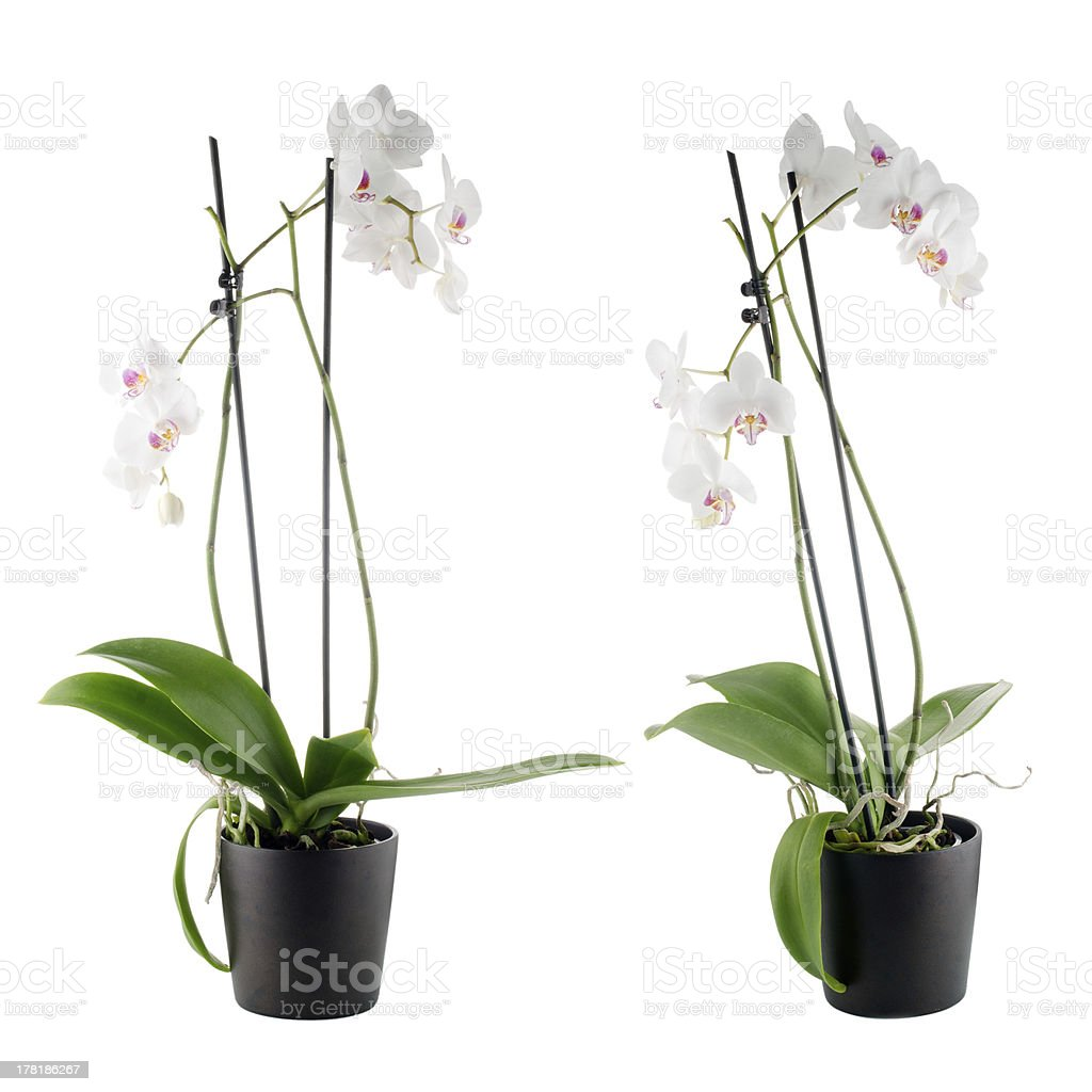 Beautiful white orchid in a flowerpot royalty-free stock photo
