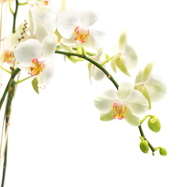 beautiful white orchid isolated from background beautiful white orchid isolated from backgroundMORE RELATED IMAGES HERE: vanilla orchid stock pictures, royalty-free photos & images