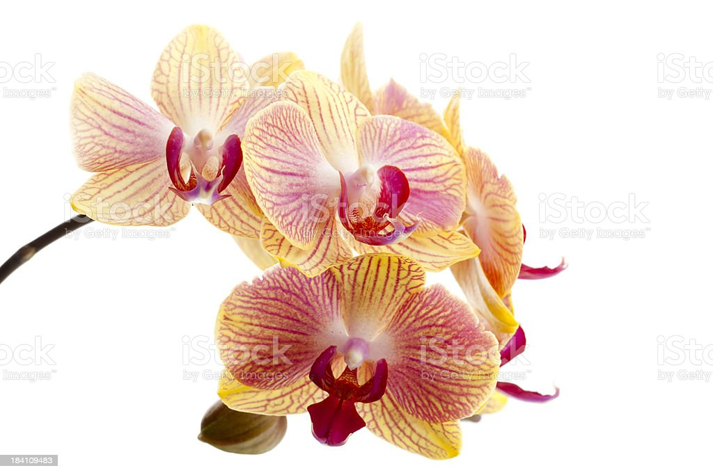 Beautiful White Orchid XXXL royalty-free stock photo