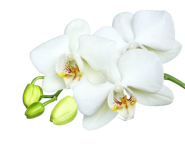schöne weiße orchidea auf weißer hintergrund. - leitner stock-fotos und bilder