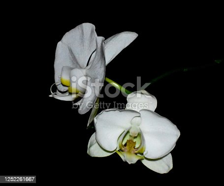 Beautiful white orchids against black background