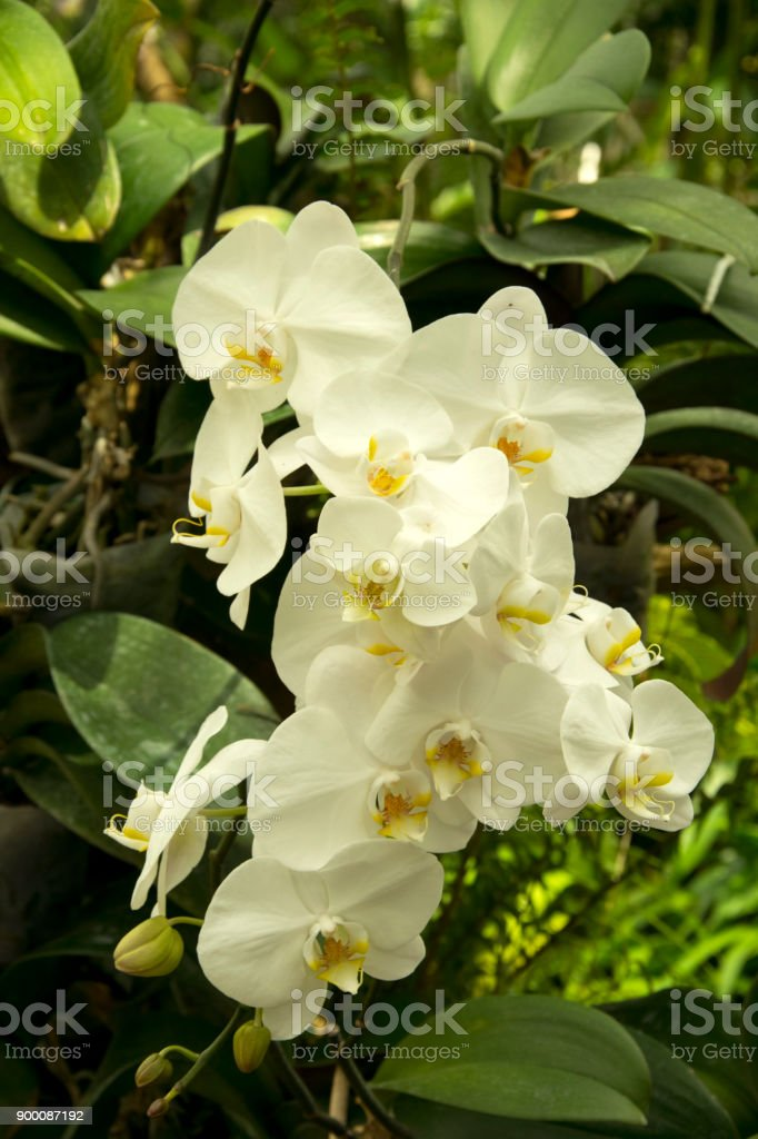 Beautiful white orchids flower in garden stock photo