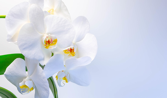 Beautiful white orchids on a white-gray background