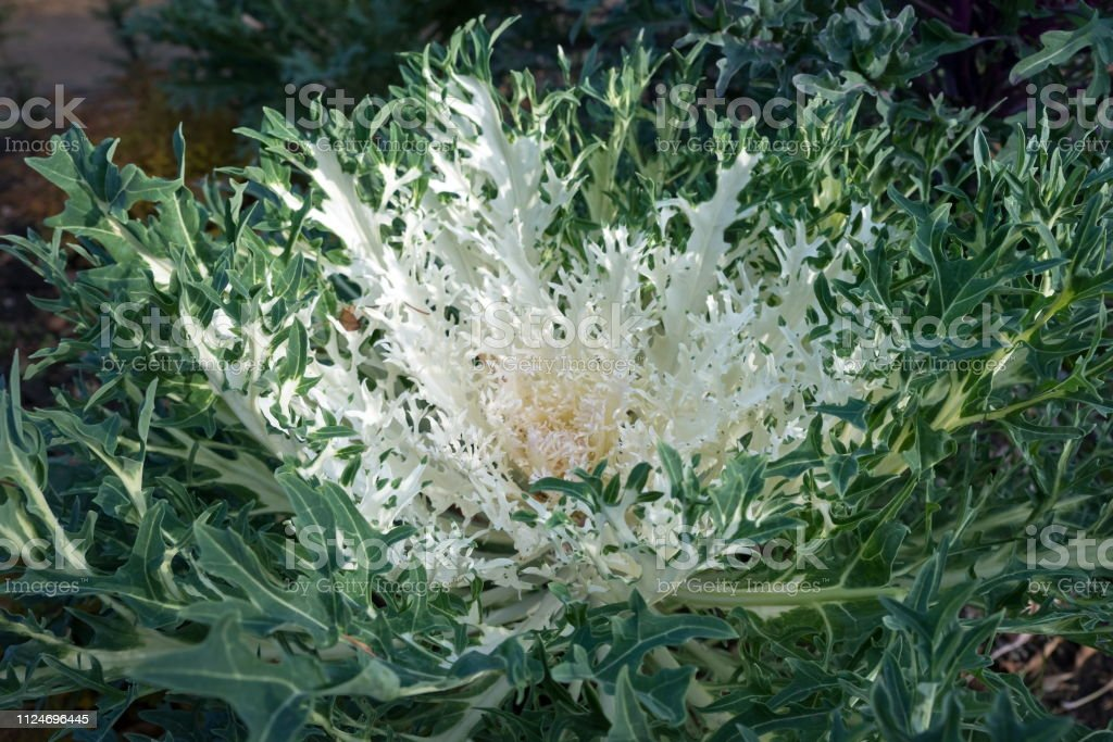 Beautiful white ornamental cabbage grows in the garden in late autumn. Hybrid variety 'Peacock White F1'