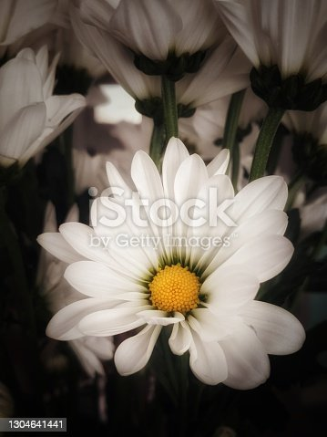 A beautiful soft white Oxeye Daisy with a pure yellow center. Well lit with darker tall daisies in the background.