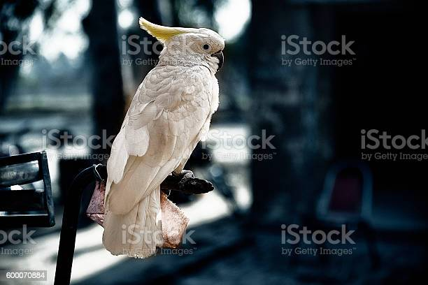 Beautiful White Parrot - Cockatoo