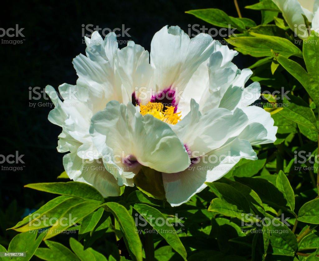 Beautiful white peonies in the garden stock photo