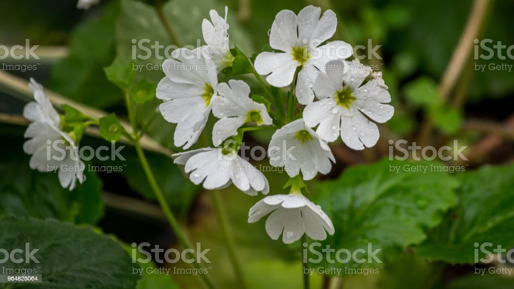 Beautiful white Perennial primrose or primula or primula polyanthus flowers in the spring garden. royalty-free stock photo