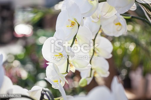 Beautiful white Phalaenopsis orchid flowers with colourful natural background